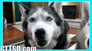 HUSKY SAYS I LOVE YOU | Fan Friday 187