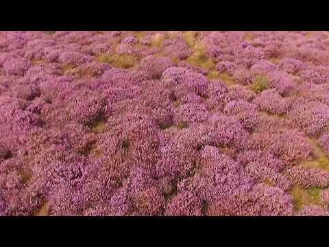 Heather in Bloom! Summertime Drone Video Aerial View of the Sea & Countryside