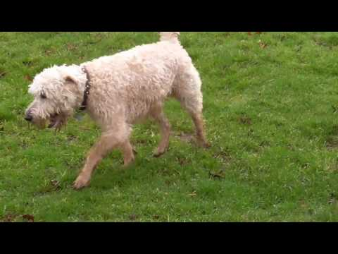 Fun Loving Max, a Soft Coated Wheaten Terrier