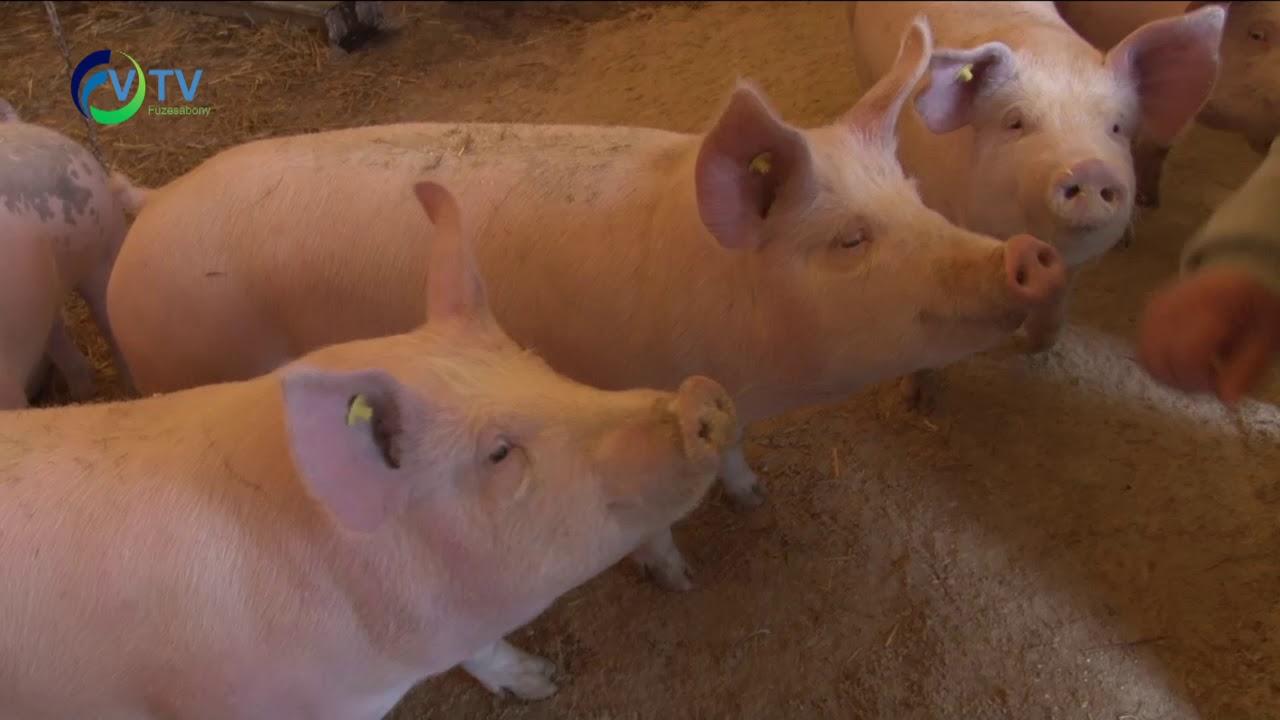 Duzzadt ízületek a malacokban, A háziállatok fertőző betegségei (Állatorvosi járványtan II.)
