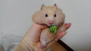 大根の葉っぱを食べすぎたキンクマハムスターのチーズくん! 可愛いお顔...