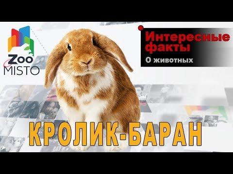 Кролик-баран - Интересные факты о породе | Кролик породы баран