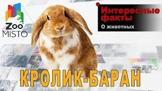 Кролик-баран - Интересные факты о породе   Кролик породы баран