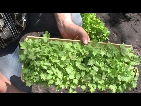 Доступно и просто выращивание смородины