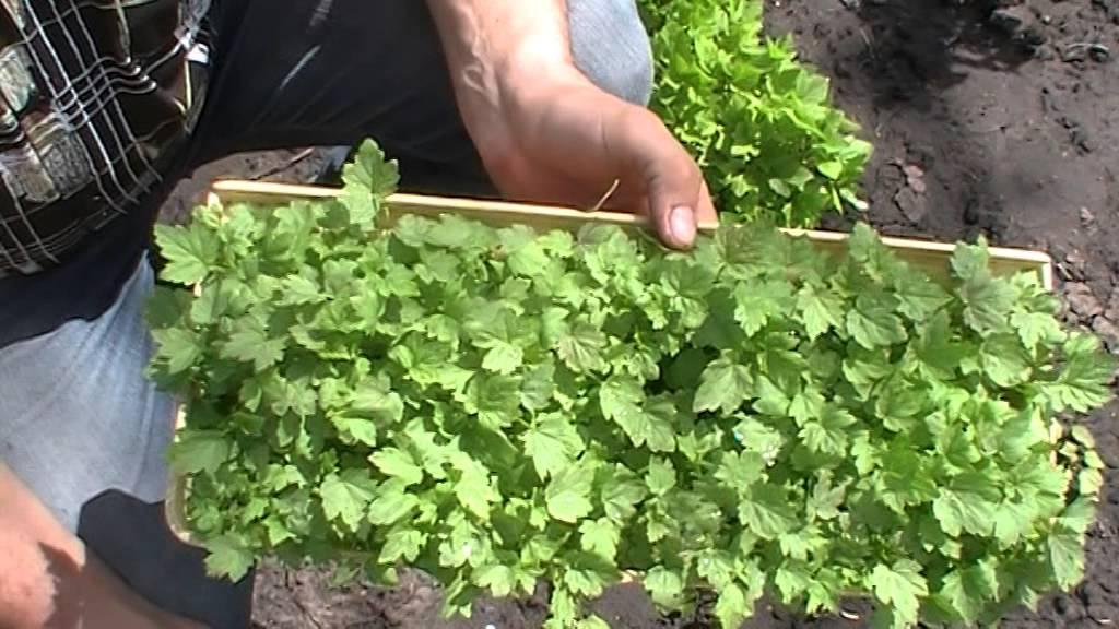 Доступно и просто выращивание смородины - youtube.