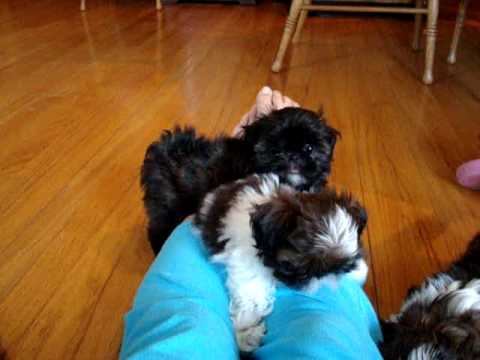 Tiny Imperial Shih Tzu Puppy 10 Weeks Old Youtube