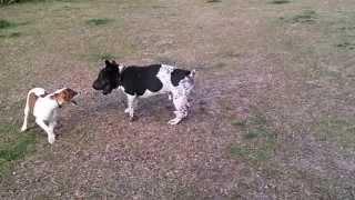 Jack Russell Vs Bulldog Shar Pei