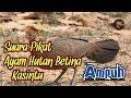 Suara Pikat Ayam Hutan Betina Terbukti Ampuh  Mp3 - Mp4 Download