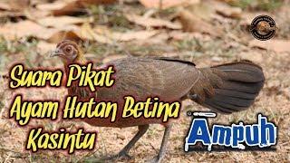 Download Suara Pikat Ayam Hutan Betina | Terbukti Ampuh