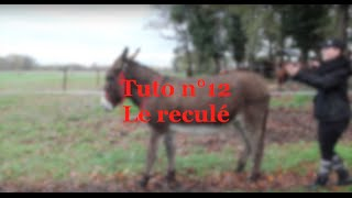 TUTO   Comment apprendre le reculé à son âne