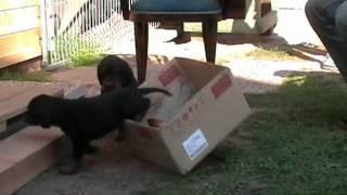Jagdhunde-welpen