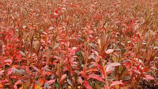 철쭉 묘목 생산지 영산홍 자산홍 철쭉 11월달 입니다ㆍ…