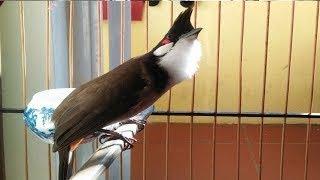 luyện giọng chào mào hót sáng - Nhanh lửa ché căng   Cách luyện chào mào căng lửa, chào mào, birds