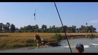 ដាក់ផ្លែ៣ ស្ទូចបានម្តង២,ស្ទូចត្រីឆ្លាំង០៨,fishing in cambodia,Amazing fish ,VUTHY AFS,