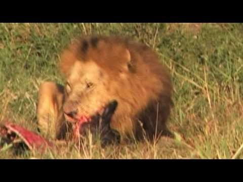 VIDEO LEONI Masai mara 2.mpg