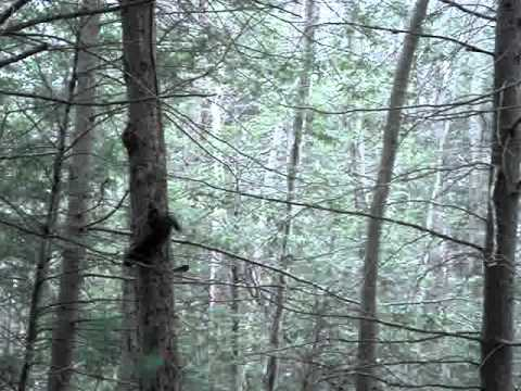 Fisher (fisher cat) chasing a squirrel in Connecticut