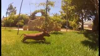 Miniature Dachshund Showing Off