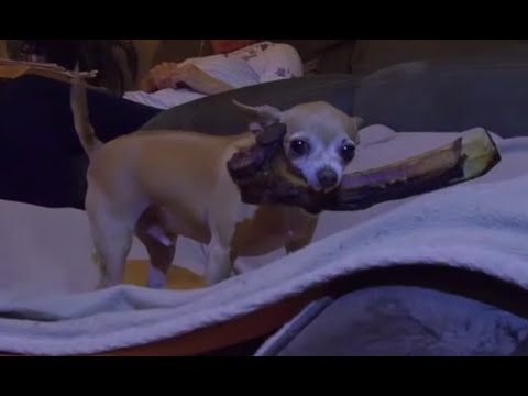 "leon-the-vicious-chihuahua-is-back!-protecting-a-10""-ribeye-steak-bone!-(better-quality-video-too!)"