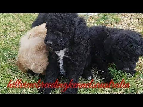 Bichoodle puppies