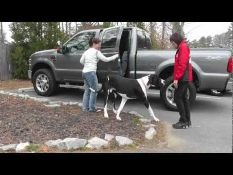 Amazing Great Dane Dog Training Off-Leash at the Park