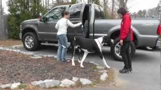 Amazing Great Dane Dog Training Off-leash At The Park
