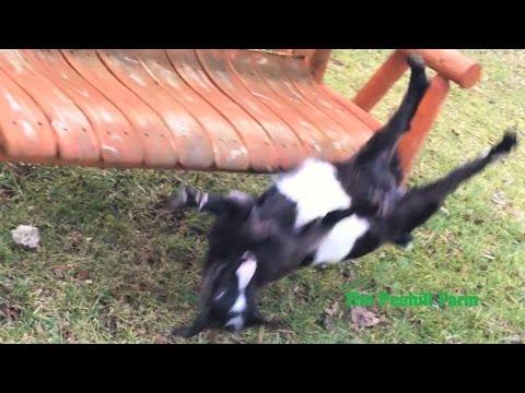 Fainting Goat Falls Off Swing Youtube