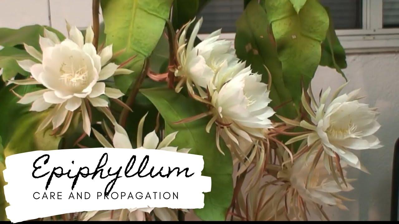 epiphyllum pikkelysömör kezelése)