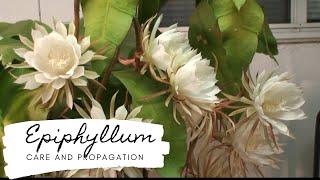 epiphyllum dreamland pikkelysömör kezelése vörös foltok a kezeken és a gyomor viszket