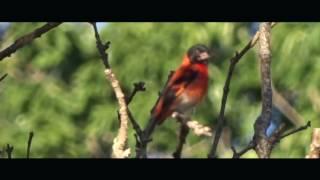 Imagenes Cardenalitos Vida Silvestre / Red Siskin videos from the wild