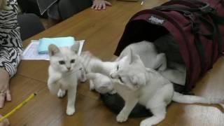 Котята породы бурмилла из питомника PCA ЛАМБЕРТ