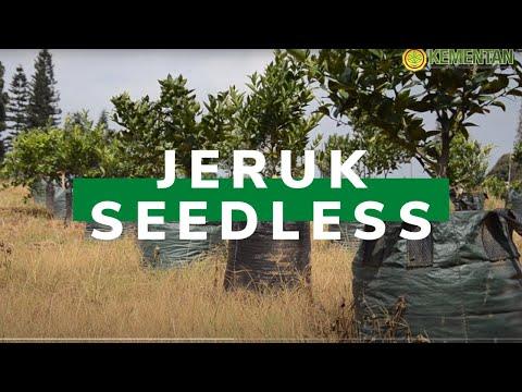 Jeruk Seedless Balitbangtan Siap Dilepas Tahun Ini