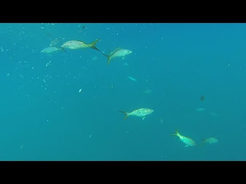 Florida Keys Yellowtail Snapper Reef Fishing - Hot Oil Style