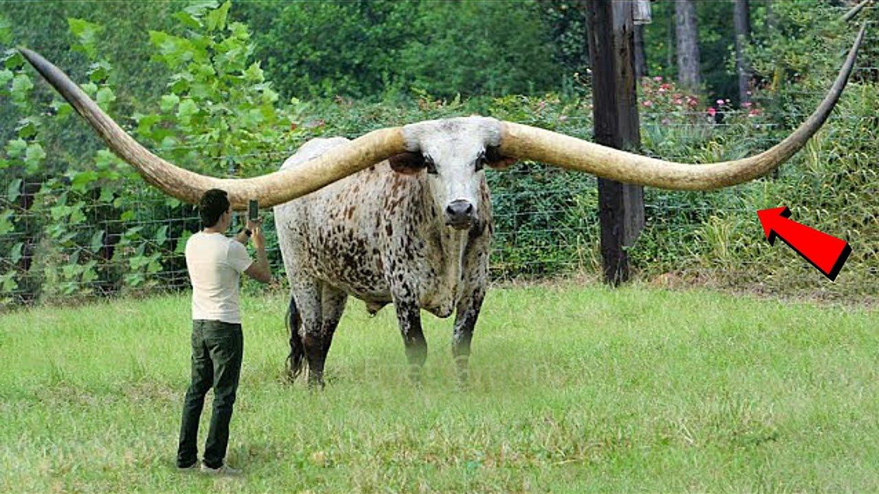 दुनिया की सबसे हैरतंगेज गाय जिसे देख वैज्ञानिको के उड़े होश | Most Unique Cows In The World