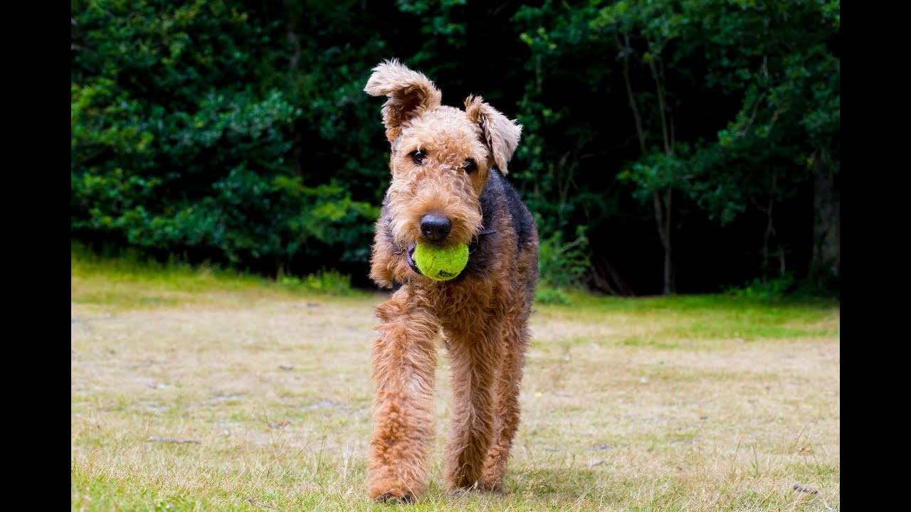 Freya  Airedale Terrier  4 Week Residential Dog Training at Adolescent Dogs  FunnyDog.TV