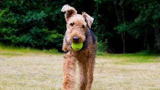Freya - Airedale Terrier - 4 Week Residential Dog Training At Adolescent Dogs