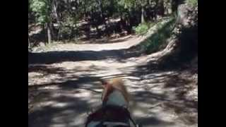 Saber Mini Horse Driving Through The Woods