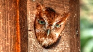 screech owl horse whinny call