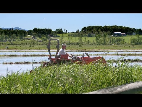 Integrated Duck  Rice Farming - Part One