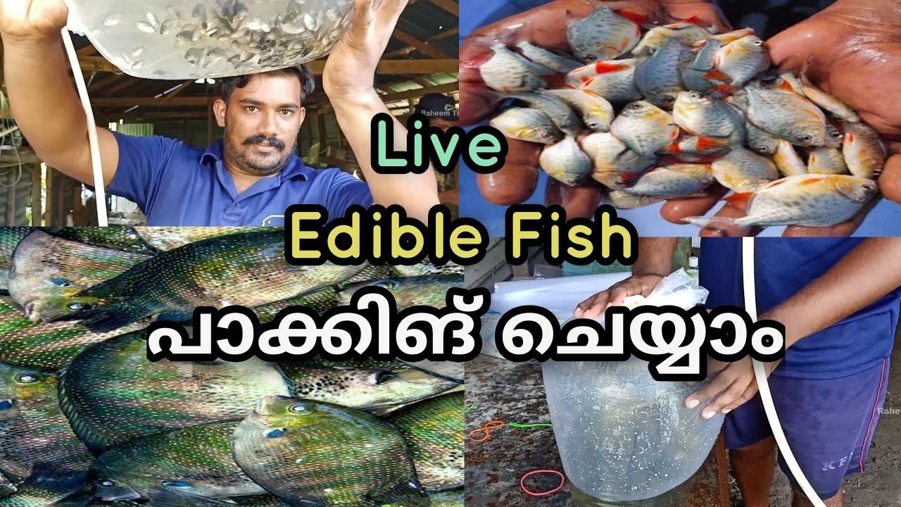കരിമീനെ പാക്കിങ്ങ് ചെയ്യാൻ പഠിക്കാം How to Packing Edible Fish For Shipping Malayalam