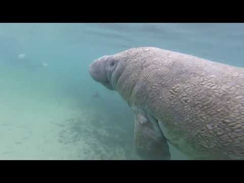 ADI Dives | Manatee Tour at Crystal River, Florida Feb  2019 ADI