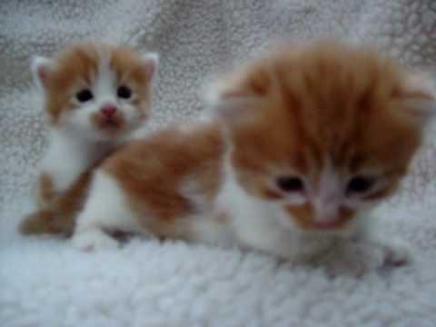 Jasmine's orange & white Munchkin kittens.MOV - YouTube