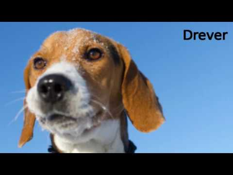 Drever - small dog breed