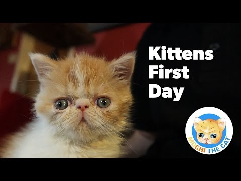 Bringing A Kitten Home - Mochi (Exotic Shorthair)