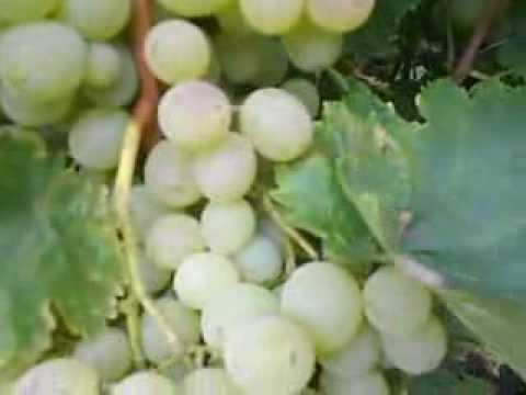 Виноград Зилга описание, посадка и уход, фото