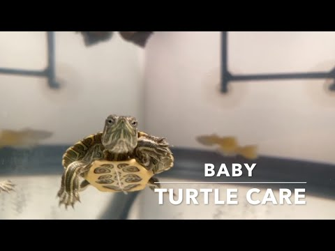 Basic Baby Red Eared Slider Turtle Care 2020 || Baby Turtle Care