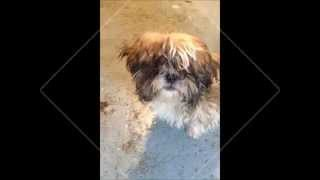 Moorlands Dog Rescue: Rosie The Shih Tzu Puppy