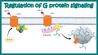 Regulation of G protein signaling by beta arrestin