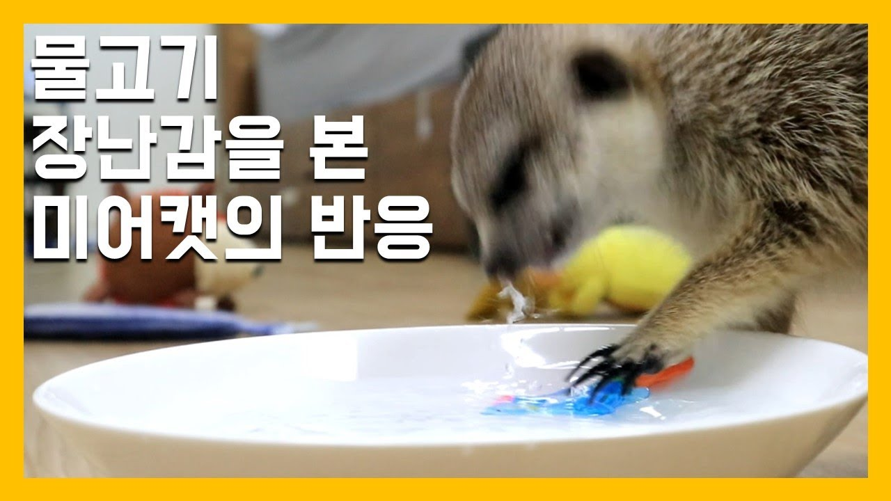 물고기 장난감을 본 미어캣의 반응 [냥이아빠]