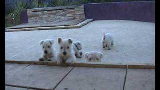 Devnik Westie Puppies 2007