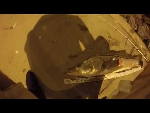 39in Snook caught at John's Pass with light tackle